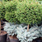 Прайс на хвойні рослини
